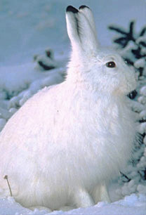 Snowshoe Hare, Crater Lake